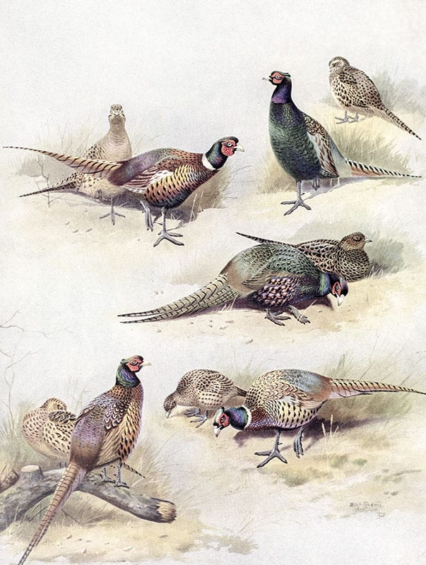 Game Birds: Rearing, Preservation, and Shooting.