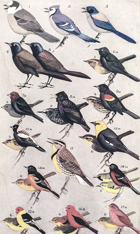 Field Guide to the Birds: Giving Field Marks of All Species Found in Eastern North America.